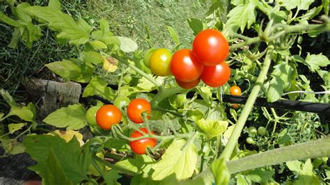 Garden Tomato by Cherry Tomato Pizza Try It You Might Like It