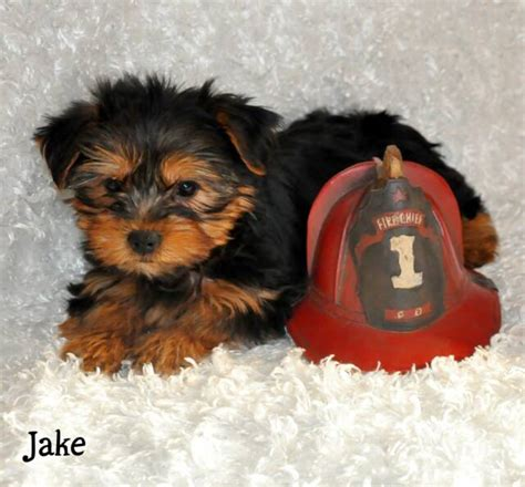 yorkies for sale in mo mo terrier puppy for sale york shire puppies pups breeders yorkies yorkie