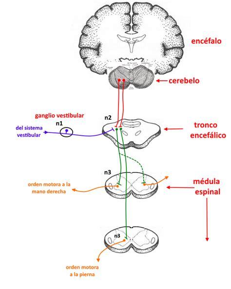 sistema vestibular los sistemas receptores 07 sistema vestibular ii