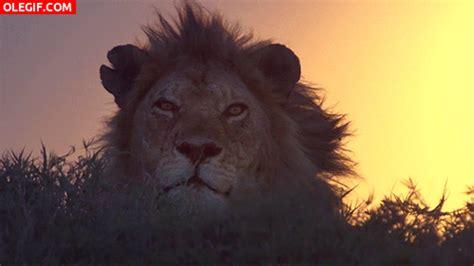 imagenes de leones gif gif viento moviendo la melena del le 243 n gif 904