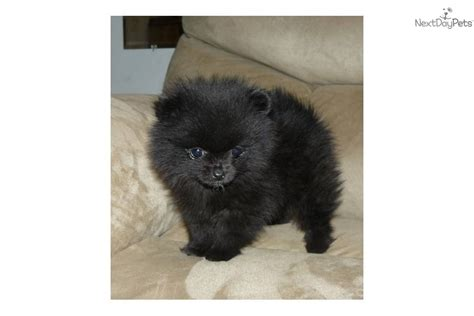 black pomeranian puppies pomeranian puppy for sale near springfield missouri