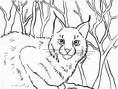 coloring pages of bobcats bobcat coloring page samantha bell