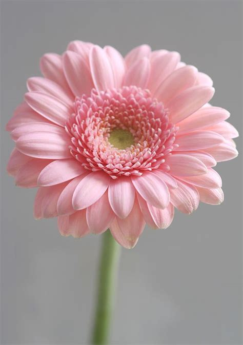 Ideas For Gerbera Flowers 25 Best Ideas About Gerbera On Pinterest Watercolor Flower Tattoos