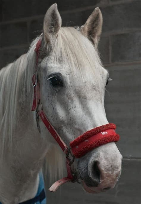 picture portrait competition white horse animal head
