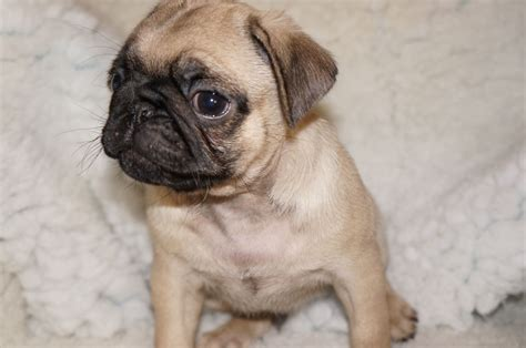 fawn pug puppies stunning fawn pug puppies redditch worcestershire pets4homes