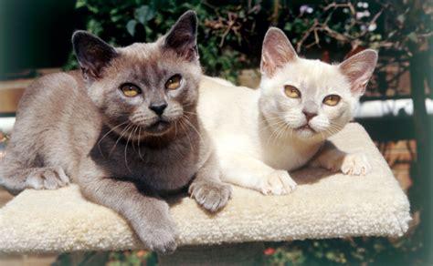 Burmese Cats   Burke's Backyard