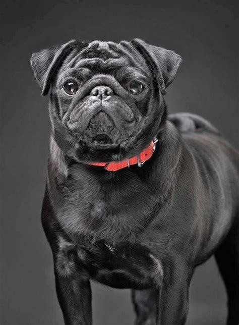 pug boy names beautiful black pug click on this image for more pinable dogs puppies and pugs