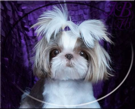 small shih tzu for sale iron butterfly imperial shih tzu tiny teacup puppies for sale quality small