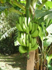 bananas on tree the latest science and medical news 10 things you didn t