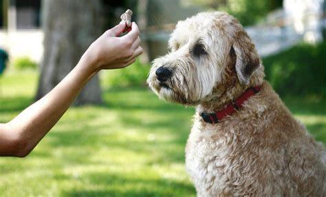 tricks to teach your puppy your 10 tricks to teach your your care and advice