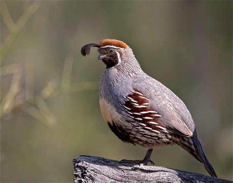 himalayan quail beautiful bird photos hd images