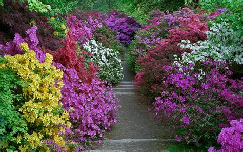 azalea color leonardslee gardens west sussex uk vibrant colors from