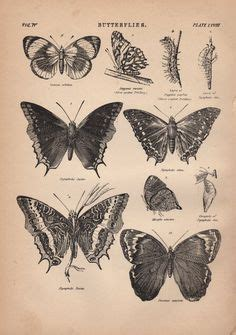 tattoo butterfly vintage antique butterfly print natural history butterfly