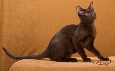 brown breeds brown cat breed cats breeds care