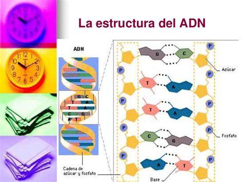 son cadenas de adn replicaci 243 n adn