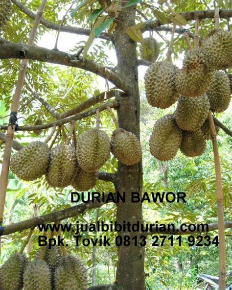Bibit Buah Durian bibit durian montong bibit durian unggul durian bawor