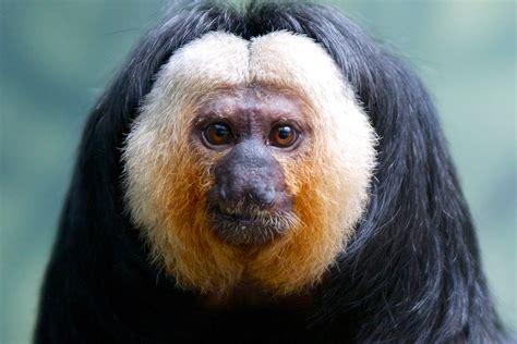 pale faced saki monkey connecticuts beardsley zoo