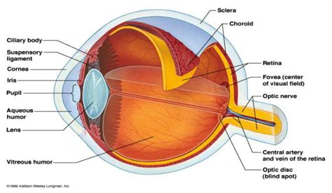 sagittal section of the eye transparent anterior portion of eye trend home design