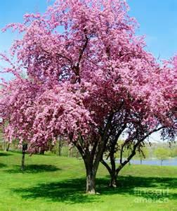 blossom tree pink blossom tree by marsha heiken