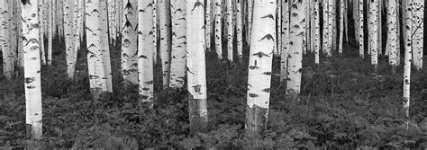 black and white panoramic photograph colorado forest