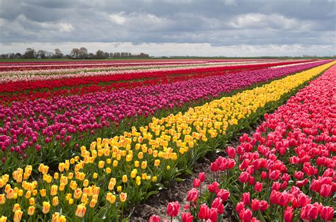 Tulip Feilds | tulip fields tulips field flower flowers wallpaper