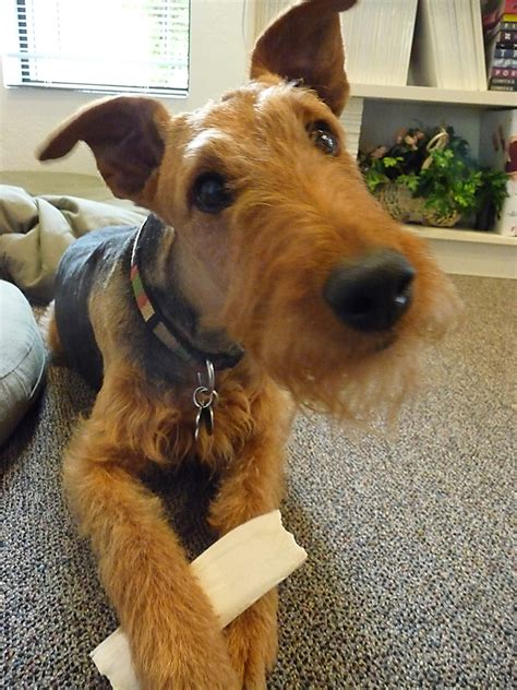 airedale puppy and pet wallpaper