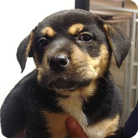 rottweiler puppies for adoption in md rottweiler boxer mix breed breeds picture