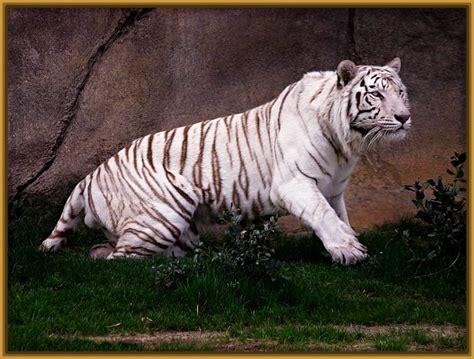 imagenes fondo de pantalla tigre fondo de pantalla tigre blanco hd archivos imagenes de