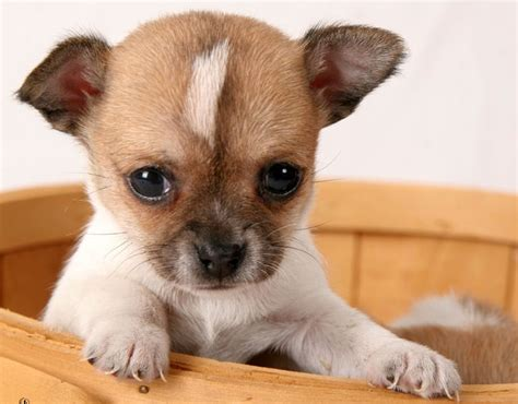 small breeds list cutest miniature breeds www pixshark images galleries with a bite