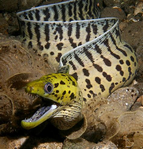 moray eel moray eels aquatic animals