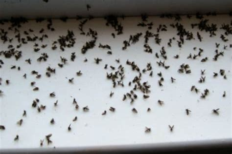 gnats in bathtub what causes gnats in the bathroom 28 images gnats in