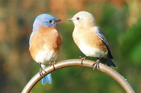 attracting bluebirds tips and faqs birds and blooms