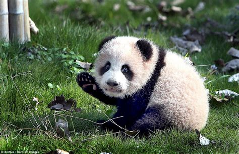 The Year Of The Panda panda cubs in china meet the for the