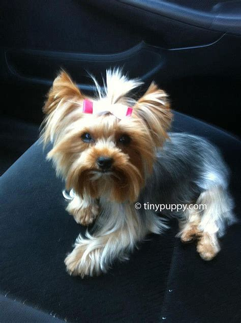hair cut for tea cup yorkies yorkie haircut pics haircuts models ideas