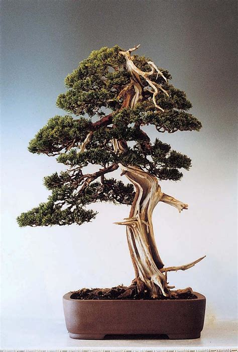 bonsai the art of the art of bonsai project feature gallery the bonsai of cheng cheng kung
