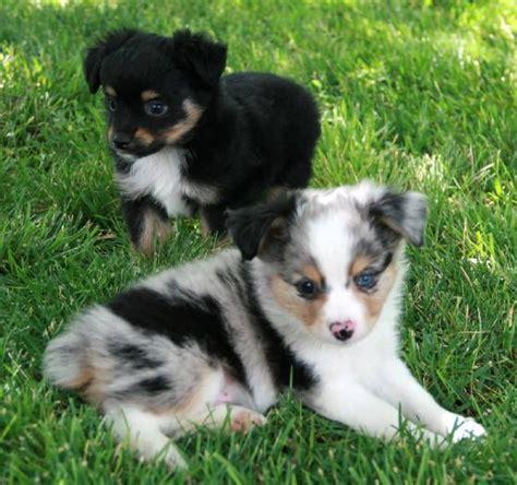 mini aussie puppies for sale in california de 25 bedste id 233 er til mini aussie p 229 mini australian shepherds