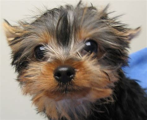 yorkie baby pictures yorkies a letter to my