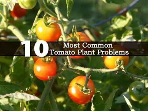 common houseplant problems 10 common tomato plant problems gardening