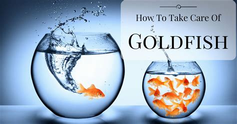how to take care of a how to take care of goldfish even if you are a novice aquarist guide