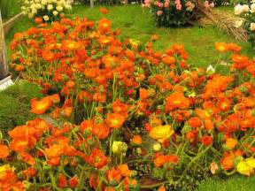 Garden Plants And Flowers Anemone Orange Garden Flowers Anemone
