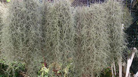 file spanish moss tillandsia usneoides 1 jpg wikimedia