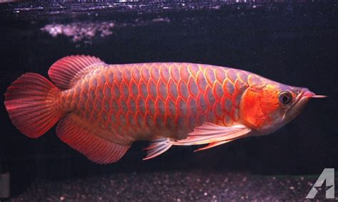 Arwana Golden golden chilli arowana arowana for sale for sale in angleton