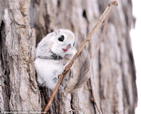 scoiattolo volante giapponese are these the cutest animals in the world flying