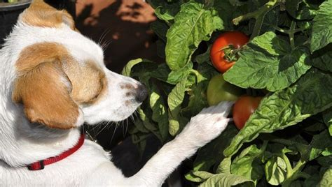 are tomatoes for dogs can dogs eat tomatoes dogtime