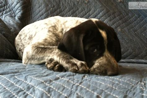 german shorthaired pointer puppies for sale oregon german shorthaired pointer puppy for sale near eugene oregon d6d71aa1 9a31