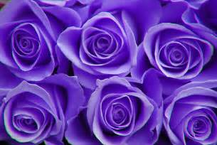 color roses flower purple color meanings