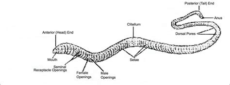 diagram of earthworm with label earthworm diagram with labeled parts imageresizertool