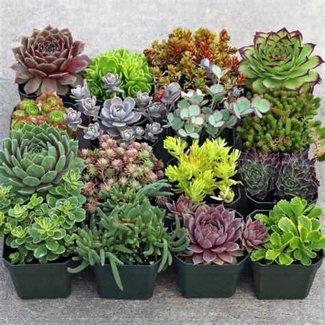Rock Garden Plants For Sale 513 Best Succulent Pictures Images On Pinterest Succulents Garden Gardening And Garden Ideas
