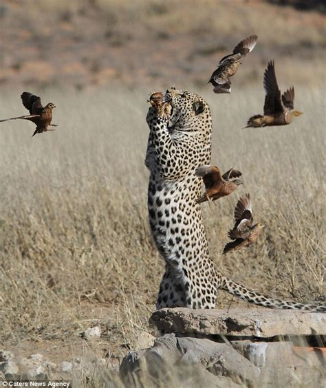 leopard plucks unfortunate bird out of the sky and gobbles