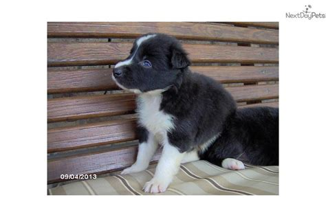 border doodle puppies for sale border collie puppy for sale near indianapolis indiana